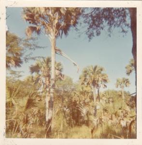 Lala-palms on the Zambezi floodplain