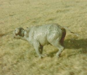 a muddy buffalo