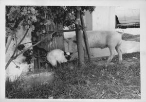 Ferreira, a fine figure of a pig.