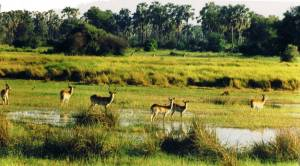 Letshwe antelope