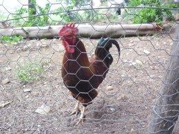 Rusty rooster.jpg