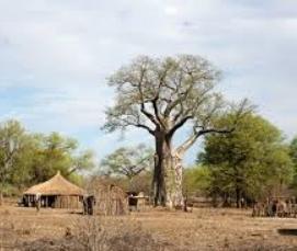 Baobab & huts